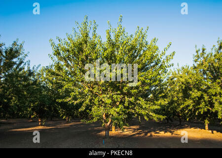 Agriculture - Mature well maintained almond orchard in mid season late afternoon light / near Newman, San Joaquin Valley, California, USA. - Stock Image