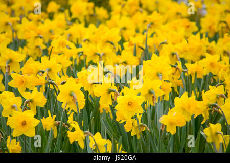 The blooming of the annual tulips and daffodils in Niagara Falls, Ontario, Canada - Stock Image