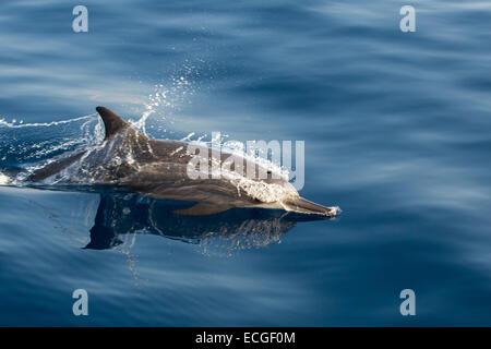 Spinner Dolphin, Ostpazifischer Delfin, Stenella longirostris, surfacing, Indonesia - Stock Image