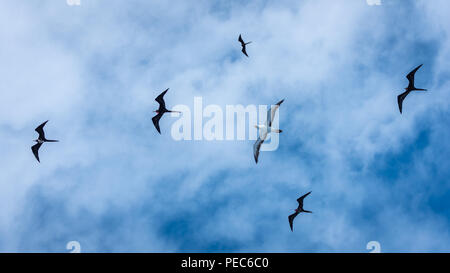 Magnificent Frigate Birds in flight - Stock Image
