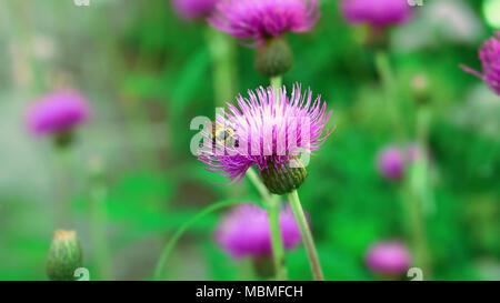 Bumblebee in milk thistle - Stock Image