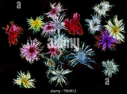 Silverberry scaly hairs, Eleagnus commutata, darkfield photomicrograph - Stock Image