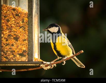 Closeup portrait of a Great tit bird, Parus Major, eating seeds of a birdfeerder in warm sunlight - Stock Image