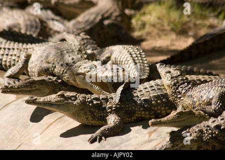 south africa oudtshoorn game park crocodiles - Stock Image