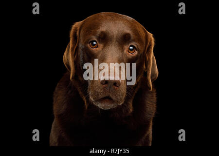 Funny Portrait of Amazement Labrador retriever dog Gazing on isolated black background, front view - Stock Image