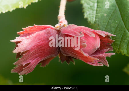 Decorative, edible cobnuts of the red hazel, Corylus maxima 'Red Filbert' - Stock Image