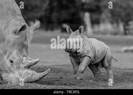 Detailed black & white close-up photograph of Southern White rhinos (Ceratotherium simum) outside at UK wildlife park, playful baby rhino jumping up. - Stock Image