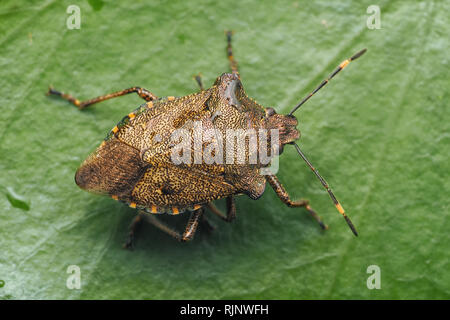 Overwintering Bronze Shieldbug (Troilus luridus) resting on ivy leaf. Tipperary, Ireland - Stock Image