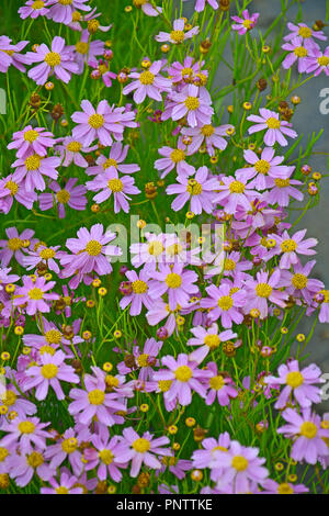 Close up of a flowering Coreopsis 'American Dream' in a cottage garden - Stock Image
