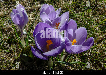 Crocus a genus of flowering plants in the iris family comprising 90 species of perennials growing from corms. Many are cultivated for their flowers. - Stock Image