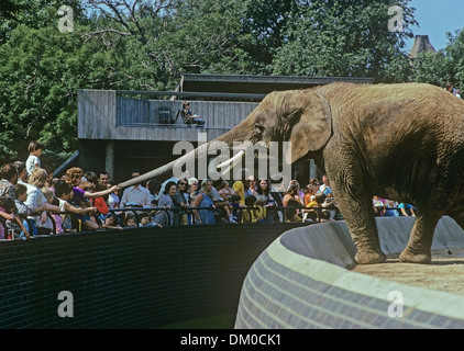 Asian Elephant at London Zoo stretches it's trunk across the moat for treats. Photo mid 1970s - Stock Image