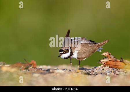 Little ringed plover (Charadrius dubius), cock courts at the Nistkuhle, Biosphere Reserve Middle Elbe, Dessau-Roßlau - Stock Image