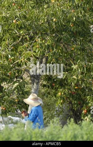 Persimmon tree Mallorca majorca balearic islands spain - Stock Image