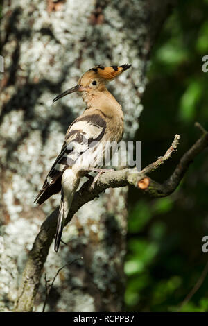 Hoopoe, Latin name Upupa epops, perched on a branch in woodland habitat in dappled sunlight - Stock Image
