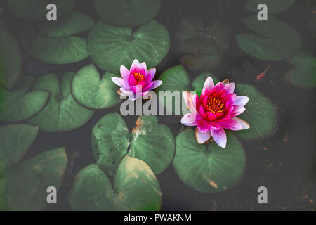 The water lily of the old pond is decorated with a colorful water lily. - Stock Image