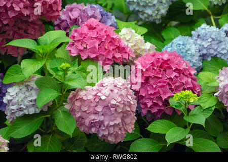 Mophead Hydrangea macrophylla - Stock Image