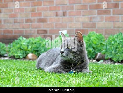 Grey pet tabby cat - Stock Image