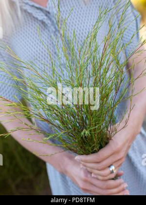 A woman holding sprigs of rooibos plants in South Africa. - Stock Image