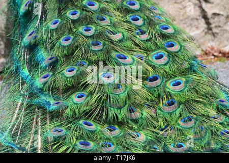 Peacock's tail at Exmoor Zoo, Exmoor, Devon, UK - Stock Image