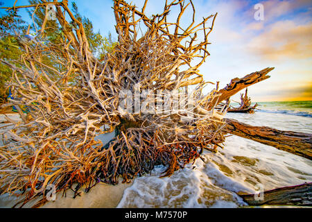 The Drowned Forest, Longboat Key, Florida Guulf of Mexico - Stock Image