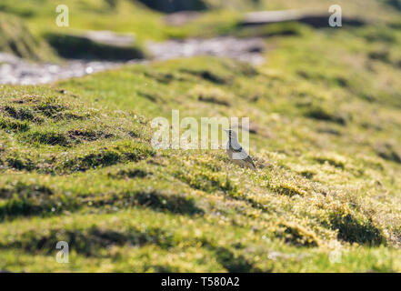 Skylark (Alauda arvensis) perched on hillside at Hay Bluff, Hay on Wye Powys Wales UK. March 2019. - Stock Image