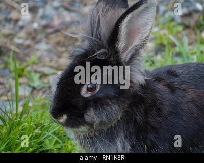 Black bunny close up - Stock Image