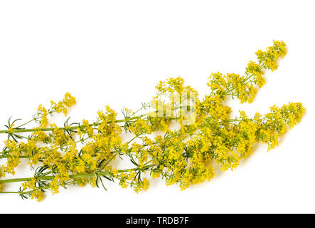 lady's bedstraw flowers ( Galium verum ) isolated on white - Stock Image