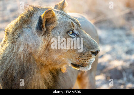 Lion focusses on something - Stock Image
