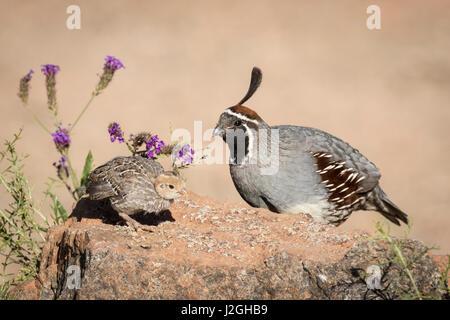 USA, Arizona, Amado. Male Gambel's quail with chick. Credit as: Wendy Kaveney / Jaynes Gallery / DanitaDelimont.com - Stock Image