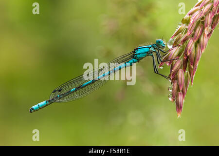 Common Blue Damselfly on a dew dropped grass seedhead in early morning. - Stock Image