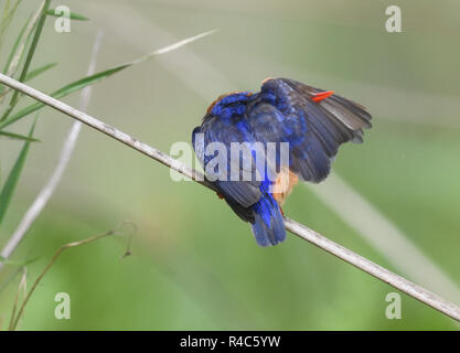 A malachite kingfisher (Corythornis cristatus  preens while  perching on a papyrus stem at the edge of the  Mabamba Swam,. Mabamba Bay Wetlands,  Waki - Stock Image