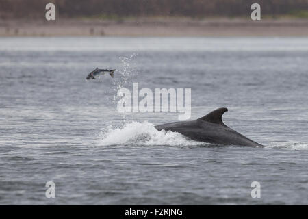 Bottlenose Dolphin hunting in the Moray Firth - Stock Image
