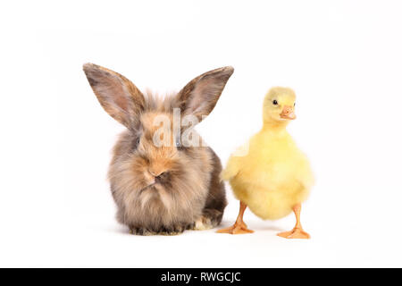 Domestic Goose. Gosling standing next to adult Dwarf Rabbit. Studio picture, seen against a white background. Germany Gans & Kaninchen / goose & rabbit - Stock Image