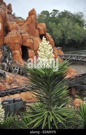 Flowering Yucca, Magic Kingdom Park, Walt Disney World, Orlando, Florida - Stock Image