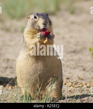 A Gunnisons prairie dog eats a piece of bait containing a sylvatic plague vaccine against the disease at the San - Stock Image