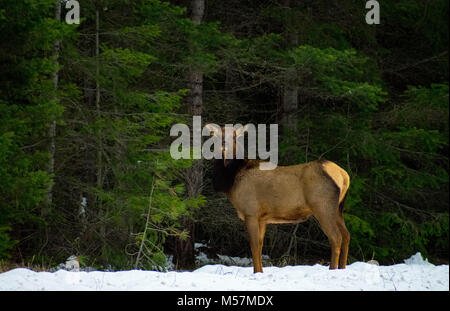 Elk - Stock Image