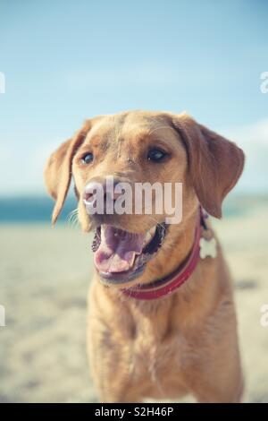 A close up portrait of a happy and friendly yellow labrador retriever portrait with its tongue sticking out whilst panting on a beach during summer vacation and hot weather - Stock Image