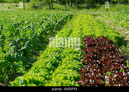 Lettuces growing on farm - Stock Image