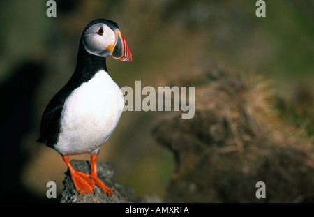PICTURE CREDIT DOUG BLANE Puffin on the banks of a volcano Westerman Islands Iceland - Stock Image