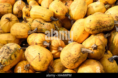 Large group of yellow organic pumpkin squashes on display filling the frame - Stock Image