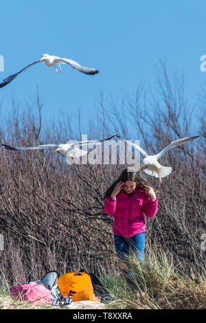 A young teenage girl being mobbed by seagulls at Fistral in Newquay in Cornwall. - Stock Image