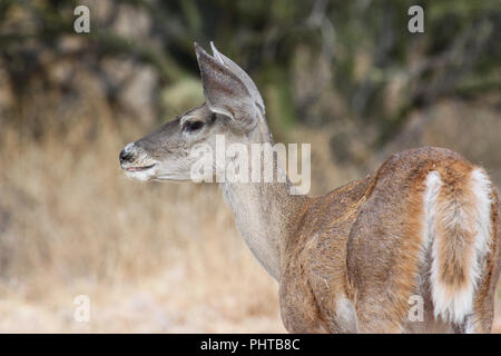 A coues whitetail deer in the Sonoran Desert of Arizona, USA. - Stock Image