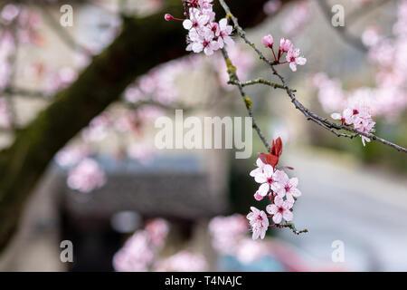 Close up of Prunus Cerasifera Pissardii cherry-plum tree blossom with pink flowers on blurred urban background in spring sunshine - Stock Image