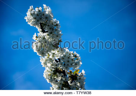 The cherry blossom delights our hearts - Stock Image
