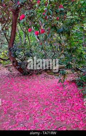 rhododendron petals on ground under bush, norfolk, england - Stock Image