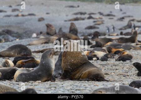 Antarctic Fur Seals, Fortuna Bay, South Georgia, Antarctica. - Stock Image