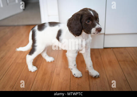A 8 week old adorable English springer spaniel puppy standing  inside on a wooden floor. - Stock Image