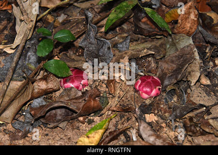 Two young flower buds of Sapria gan - a parasitic flowering plant on the forest floor in Thailand - Stock Image