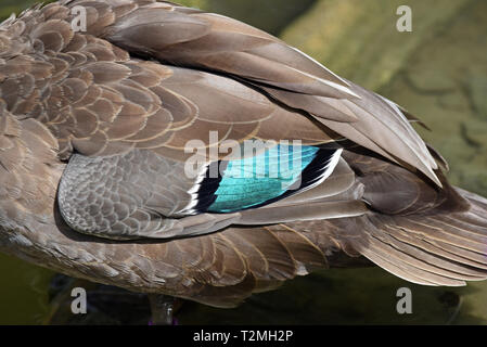 Close-up of a Philippine Duck (Anas luzonica) showing the beautiful irridescent blue speculum feathers - Stock Image
