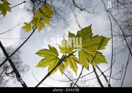 Backlit leaves - Stock Image